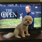 Watching golf with a puppy bichonsofinstagram dogsofinsta